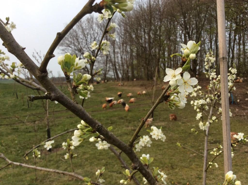 Blomstrende frugttræ - 2016